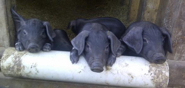 Large Black Piggies